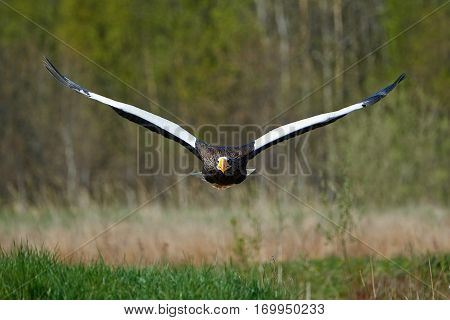 Stellers sea eagle (Haliaeetus pelagicus) in flight with vegetation in the background