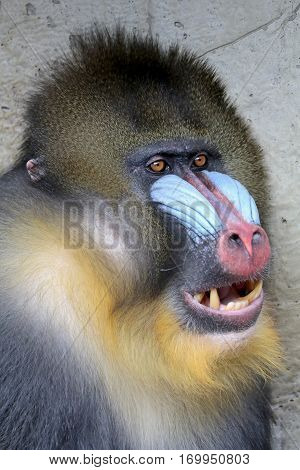 Close up of a male Mandrill with a blurry background