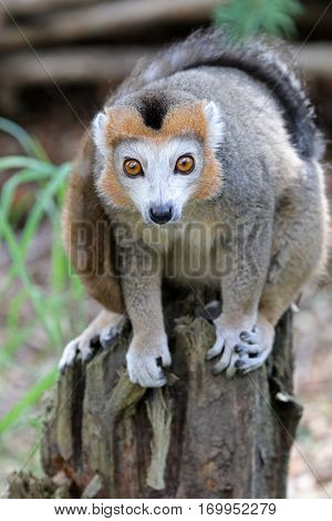 Crowned lemur portrait with a blurry background