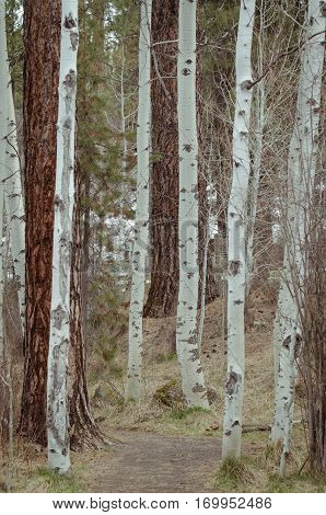 A grove of Quaking Aspens lining a forest trail