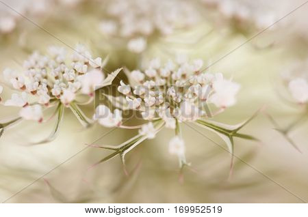 Macro of Queen Anns Lace in the Light