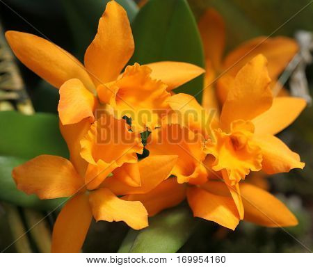 Beautiful orange orchid on green leaf background. Cattleya.