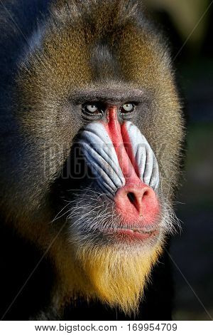 A very colorful male Mandrill portrait with dark background