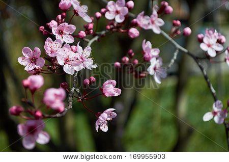 Cherry Blossoms In El Bolson