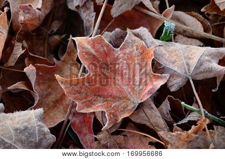 Frost covered leaves on the ground on an early Fall morning