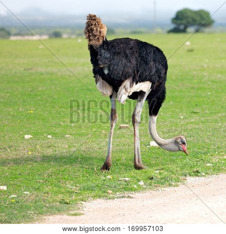 In South Africa     Wildlife  Nature  Reserve And   Ostrich