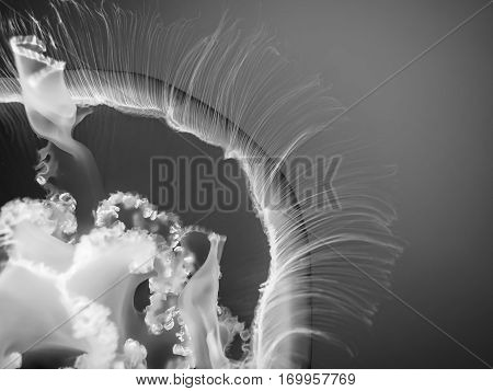 Black and white macro floating jellyfish tentacles