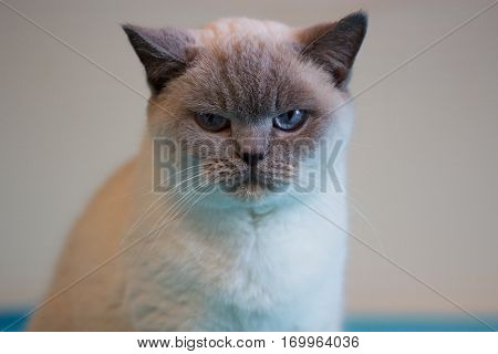 British white cat. British cat (color blue-point). British white cat with blue eyes
