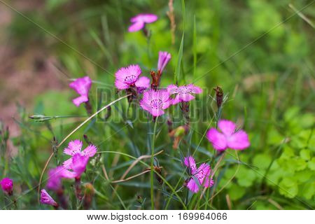Pink Dianthus deltoides in the blurry green background