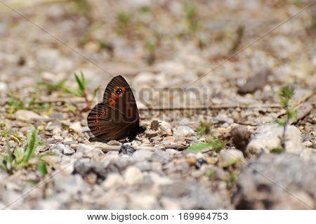 Erebia medusa, Woodland Ringlet Butterfly on the ground