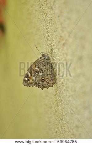 Kirinia roxelana, Lattice Brown butterfly on the wall