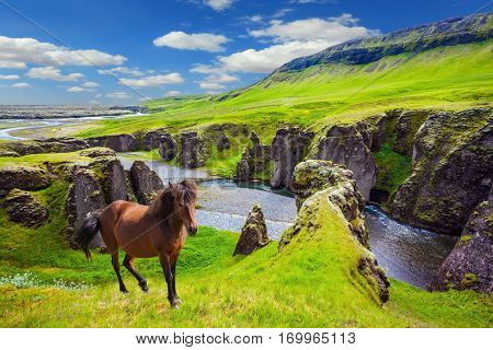 Bay thoroughbred horse grazes on a cliff. The striking canyon in Iceland. The Icelandic Tundra in July. Bizarre shape of cliffs surround the stream with glacial water