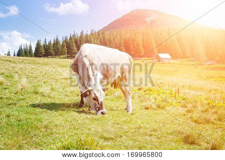 Grey cow grazing on mountain pasture with green grass in the sunny morning