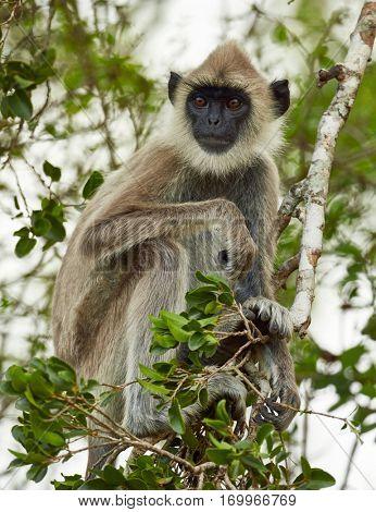 Grey Faced Langur Monkey. Yala national park, Sri Lanka