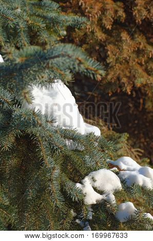 Pine branch cower by snow. Photo taken at sunny day.