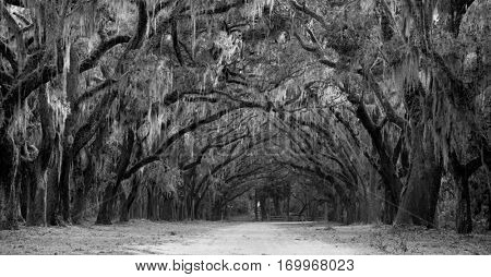 Avenue of oaks and spanish moss in American deep south