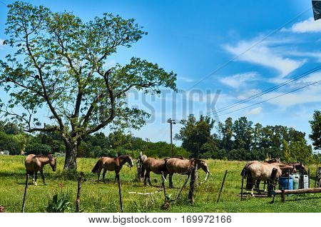 A group of horses eating in a field in Carlos Keen Buenos Aires Argentina.