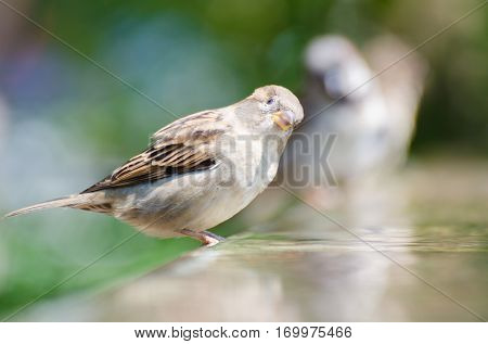 A sparrow having bird bath