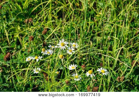 White camomiles with yellow core in green grass close up