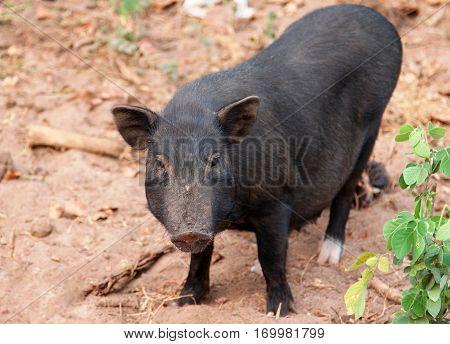 Black vietnamese pig in the yard n