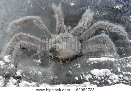 King crab in ice block closeup n
