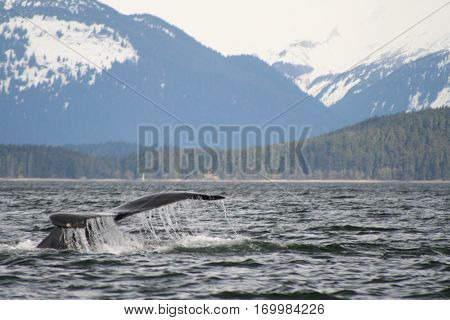 Humpback whale tail dive in Juneau Alaska