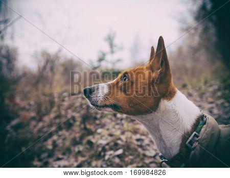 Basenji dog close-up portrait. Walk in the park. Autumn day. Overcast sky.