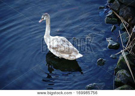 The closeup of a young swan on the bank of a river next to shot New Year's Eve rockets.