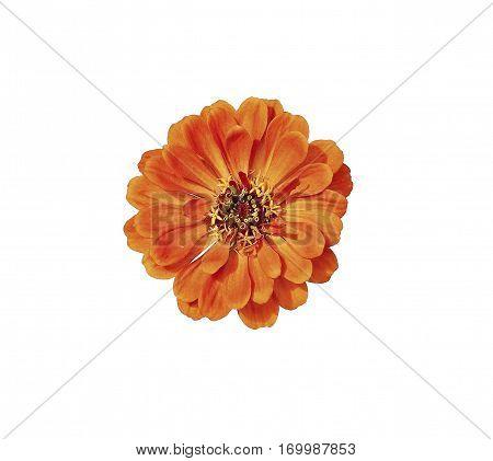 Bright orange flower zinnia isolated on white background