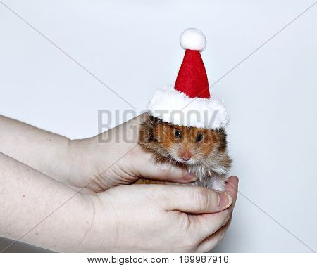 Angry brown hamster in the cap of Santa Claus in hands