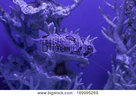 Porcupinefish swims among beautiful corals Diodon liturosus