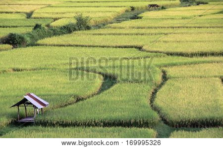 A hut on ricefield for background .Feeling fresh Nan Thailand