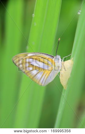 Butterfly on the ricefield its backgroundThe northern of Thailand.