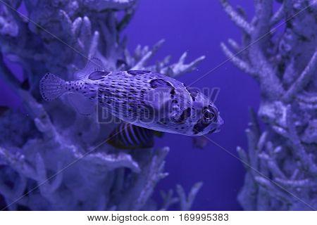 Porcupinefish underwater among beautiful corals Diodon liturosus