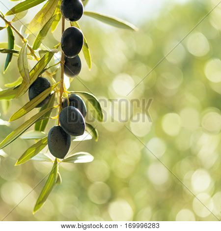 square image mediterranean olives with negative space of a green bokeh background in late summer sun. Room for text or copy space