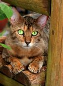 a bengali special breed kitten with huge pearly green eyes, sitting on a garden bench. poster