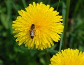 Yellow flowers of dandelion on green background wth bee poster