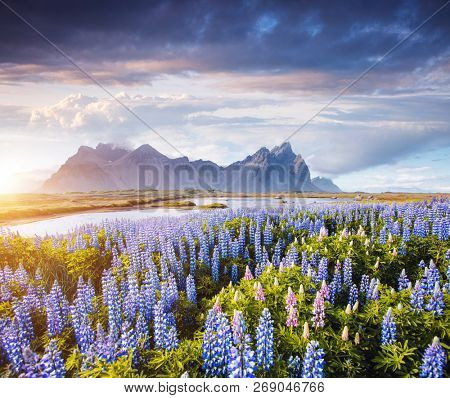 Splendid view of perfect lupine flowers on sunny day. Location Stokksnes cape, Vestrahorn (Batman Mount), Iceland, Europe. Wonderful image of amazing nature landscape. Discover the beauty of earth.