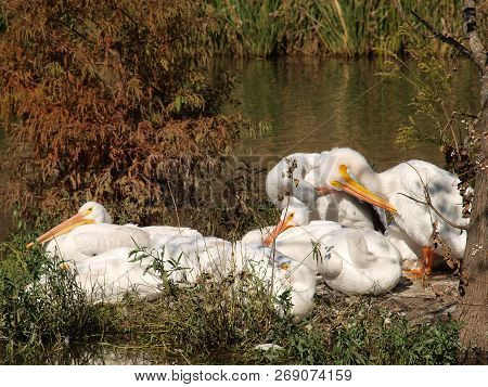 American White Pelicans Sunning Themselves After An Early Morning Fishing Adventure.