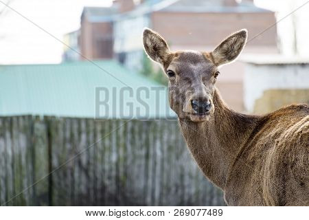Portrait Of A Young Female Red Deer (cervus Elaphus)
