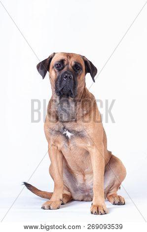 Cane Corso Dog Sitting On White Background At Studio