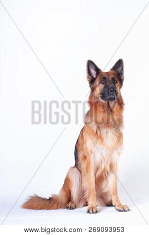 German Shepherd Dog Portrait On White Background