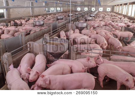 Curious Pigs In Pig Breeding Farm In Swine Business In Tidy And Clean Indoor Housing Farm, With Pig
