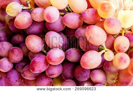 Blue Grapes In A Vineyard Close Up. Ripe Red Wine Grapes Pink Grapes In A Vineyard Close Up. Ripe Re