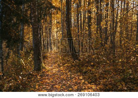 Yellow Leaves Fall To The In The Autumn. Forest Road. Nature Trail Of The Traveler. Sunny Day In The