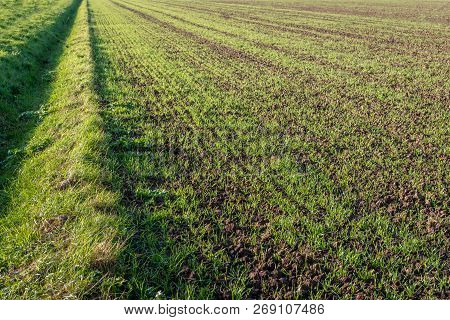 Recently Sown Young Fresh Green Blades Of Grass In Long Rows Growing In Crumbled Earth. Beside The F