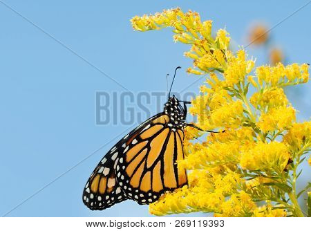 Monarch butterfly on a Goldenrod flower in fall, against blue skies