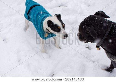 Cute Dogs Playing In The Snow Wearing Warm Winter Sweaters, Happy Pets Playing Outdoors In Winter Cu