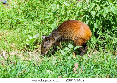 Agouti at Ile Royale, one of the islands of Iles du Salut Islands of Salvation in French Guiana poster