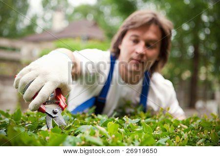 Gardener cutting a bush. Focus on the pruner.